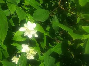 jasmin kwiat