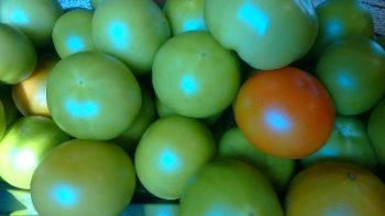 pomodory zielone