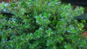 Dziki tymianek pięknie rośnie w doniczce :)