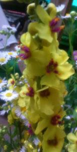 dziewanna-kwiat